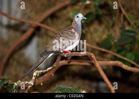Bar-shouldered Dove (Geopelia humeralis), adult on tree, Australia - Stock Photo