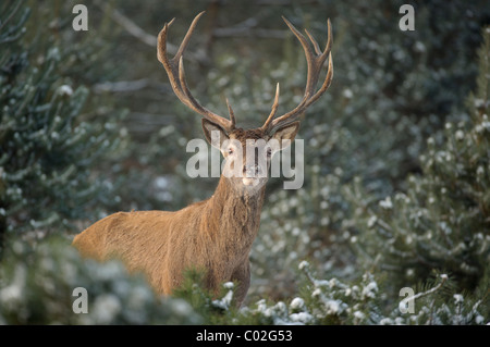 Red Deer (Cervus elaphus). Stag standing in snowy pine forest while looking into the camera, Veluwe, Netherlands. - Stock Photo