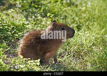 Capybara (Hydrochoerus hydrochaeris), young, Pantanal wetland, Brazil, South America - Stock Photo