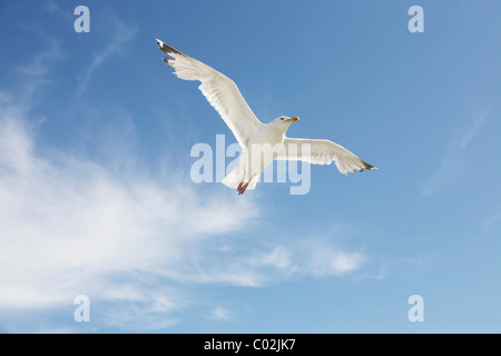 Seagull against a blue sky and cloud - Stock Photo