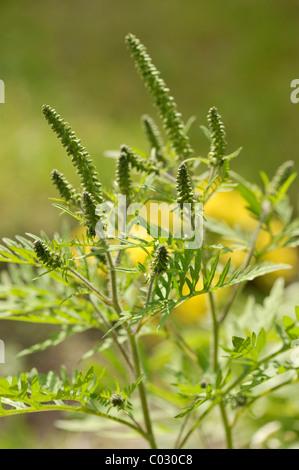 Common Ragweed (Ambrosia artemisiifolia), a highly allergenic plant - Stock Photo