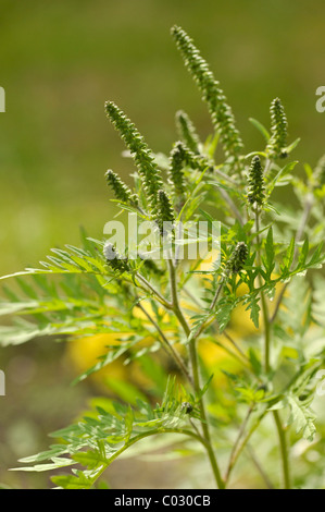 Common Ragweed (Ambrosia artemisiifolia), a highly allergenic plant - Stock Photo