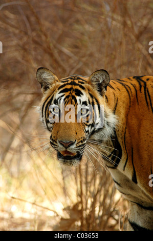 Face portrait of an adolescent male Bengal Tiger in Ranthambhore Tiger Reserve, Rajasthan, India - Stock Photo