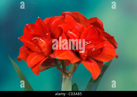 Amaryllis (Amaryllis hippeastrum), South Africa, Africa - Stock Photo