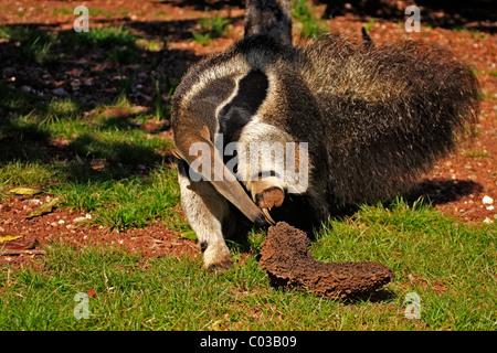 Giant Anteater (Myrmecophaga tridactyla), portrait, adult feeding on termites in a termite mound, Pantanal, Brazil - Stock Photo