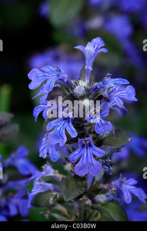 Blue Bugle or Carpetweed (Ajuga reptans) - Stock Photo