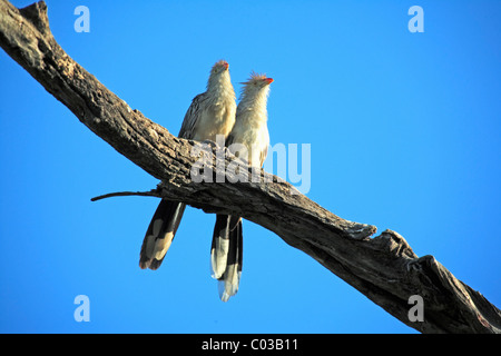 Guira Cuckoo (Guira Guira), adult birds on a branch, Pantanal, Brazil, South America - Stock Photo