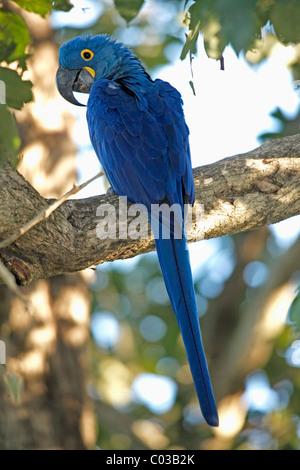 Hyacinth Macaw (Anodorhynchus hyacinthinus), hind on tree, Pantanal, Brazil, South America - Stock Photo