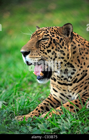 Jaguar (Panthera onca), adult male yawning, Pantanal, Brazil, South America - Stock Photo