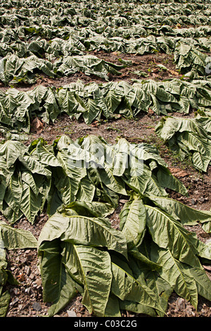 Tobacco harvest with leaves drying in the field Aixirivall Andorra - Stock Photo