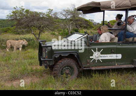 South Africa, East London, Inkwenkwezi Private Game Reserve. Safari jeep near African lioness (Wild: Panthera leo) - Stock Photo