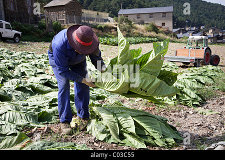 Farmer collecting tobacco leaves during harvest Andorra - Stock Photo