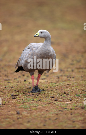 Cape Barren Goose (Cereopsis novaehollandiae), adult bird, Australia - Stock Photo