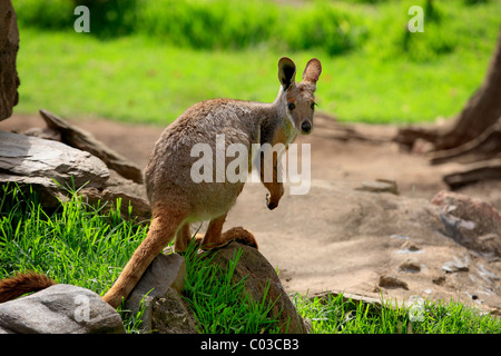 Yellow-footed Rock-wallaby (Petrogale xanthopus), adult on a rock, Australia - Stock Photo
