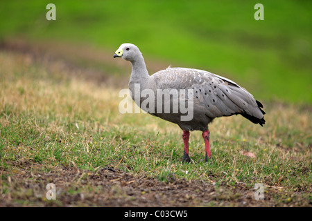 Cape Barren Goose (Cereopsis novaehollandiae), adult, Australia - Stock Photo