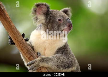 Koala (Phascolarctos cinereus), adult, tree, Australia - Stock Photo