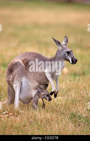 Eastern Grey Kangaroo (Macropus giganteus), female adult with young in pouch, Australia - Stock Photo