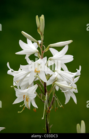 Madonna Lily (Lilium candidum), blooming, Germany, Europe - Stock Photo