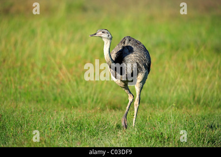 Greater Rhea (Rhea americana), adult female, Pantanal, Brazil, South America - Stock Photo