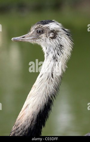 Greater Rhea (Rhea americana), adult male, portrait, Pantanal, Brazil, South America - Stock Photo