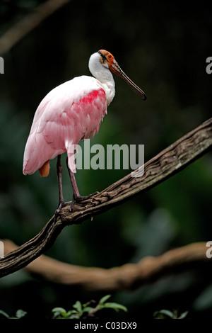 Roseate spoonbill (Ajaia ajaja), adult, on tree, Pantanal, Brazil, South America - Stock Photo