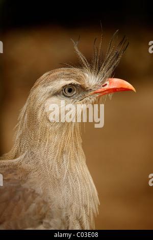 Red-legged Seriema or Crested Cariama (Cariama cristata), adult, portrait, Pantanal, Brazil, South America - Stock Photo