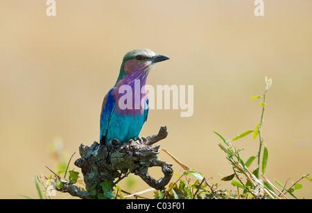 Lilac-breasted Roller (Coracias caudatus) - Stock Photo