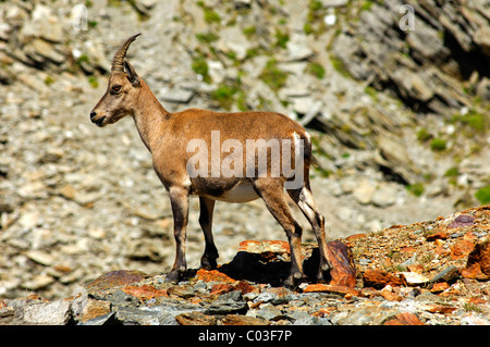 Young Alpine ibex (Capra ibex) in the scree, Savoy Alps, France, Europe - Stock Photo