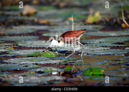 African Jacana (Actophilornis africanus), foraging adult, on water lily pad, Kruger National Park, South Africa, - Stock Photo