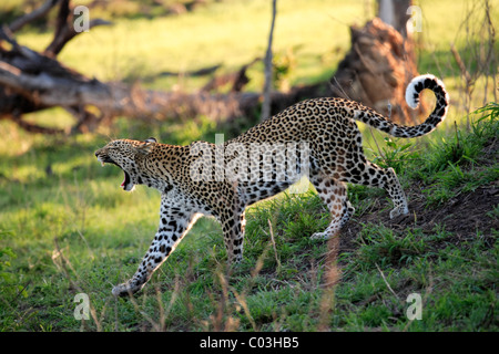 Leopard (Panthera pardus), adult walking and yawning, Sabisabi Private Game Reserve, Kruger National Park, South - Stock Photo