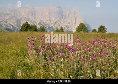 Melancholy Thistle (Cirsium helenioides) in front of Schlern Mountain, Seiser Alm, Dolomites, Alto Adige, Italy, - Stock Photo