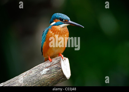 Kingfisher (Alcedo atthis), adult bird on a pole, Europe - Stock Photo