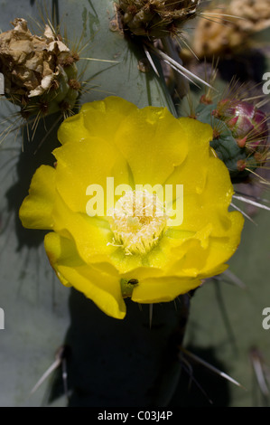 Opuntia robusta flower detail (Wheel Cactus or Camuesa) - Stock Photo