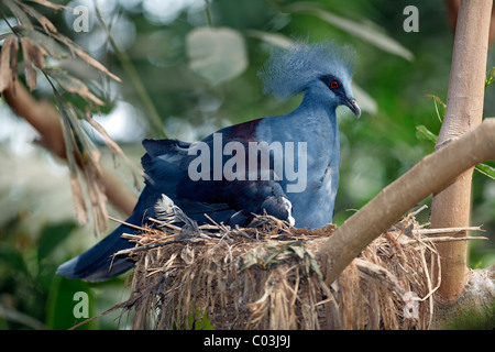 Western Crowned Pigeon (Goura cristata), adult bird nesting on a nest, New Guinea, Pacific Ocean - Stock Photo