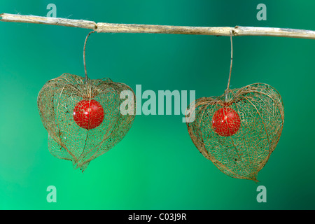 Chinese Lantern (Physalis franchetii), flowers and fruit - Stock Photo