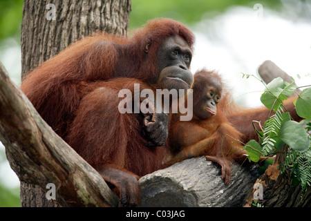 Bornean Orangutan (Pongo pygmaeus), female adult with young in a tree, Asia - Stock Photo