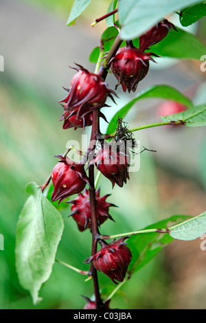 Roselle (Hibiscus sabdariffa L.), fruits, Singapore, Asia - Stock Photo