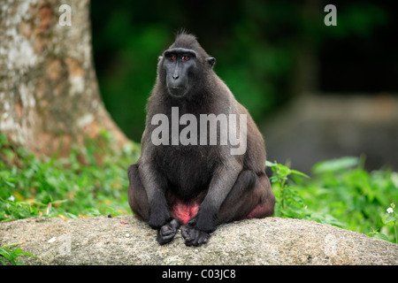 Celebes Crested Macaque (Macaca nigra), seated adult female, Sulawesi, Pacific Ocean - Stock Photo