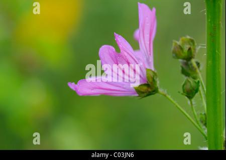 Greater Musk-mallow or Hollyhock Mallow (Malva alcea), flowering - Stock Photo