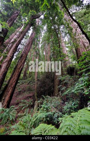 Vegetation and Coastal Redwoods (Sequoia sempervirens), Muir Woods National Park, California, USA, North America - Stock Photo