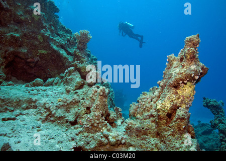 Scuba diver at a reef, Marsa Alam, Egypt, Red Sea, Africa - Stock Photo