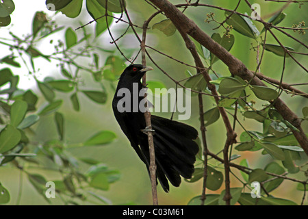 Black Cockoo - Stock Photo