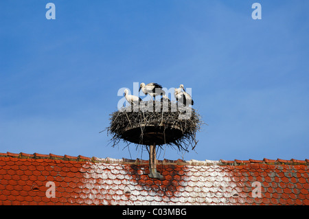 White storks (Ciconia ciconia) on their roof-top nest, Grand'Rue, Ribeauvillé, Alsace, France, Europe - Stock Photo