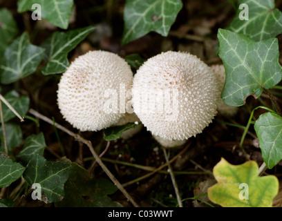 Common Puffball Fungi, Lycoperdon Perlatum, Lycoperdaceae. - Stock Photo