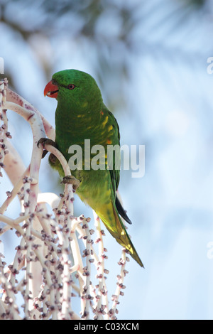 Scaly-breasted Lorikeet (Trichoglossus chlorolepidotus) sitting on a tree and feeding in Australia - Stock Photo