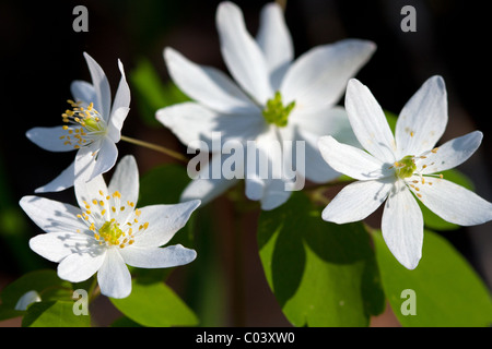 Rue Anemone, Thalictrum thalictroides, Buttercup Family - Stock Photo
