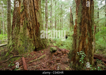 Two old growth tree's rot in the forest. - Stock Photo