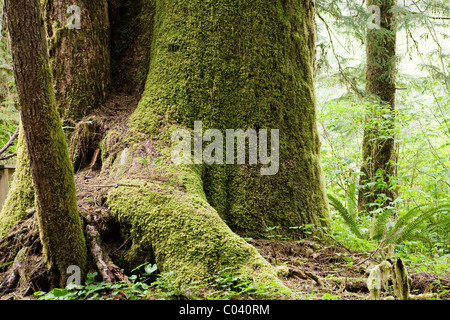 Large trees in the Carmanah Valley - Stock Photo