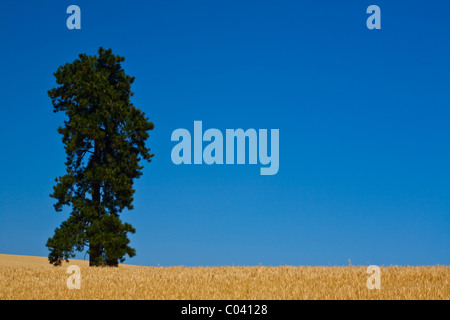 A lone tree in a field of wheat against a vivid blue sky - Stock Photo