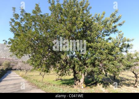 road towards Murla with an Algarroba Tree / Carob Tree (Ceratonia siliqua) near Alcalali, Alicante Province, Valencia, - Stock Photo